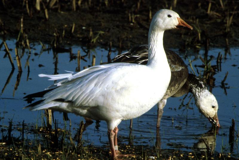 Snow_geese